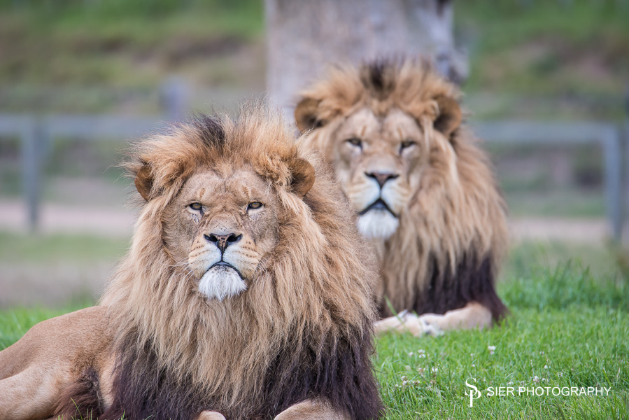 Yorkshire Wildlife Park Lions looking cool!