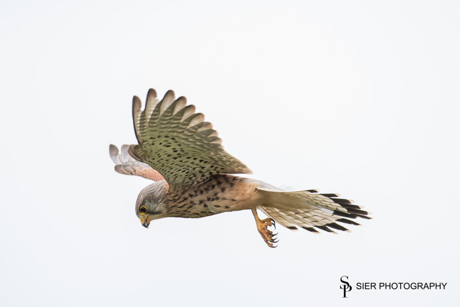 Kestrel hunting a mouse