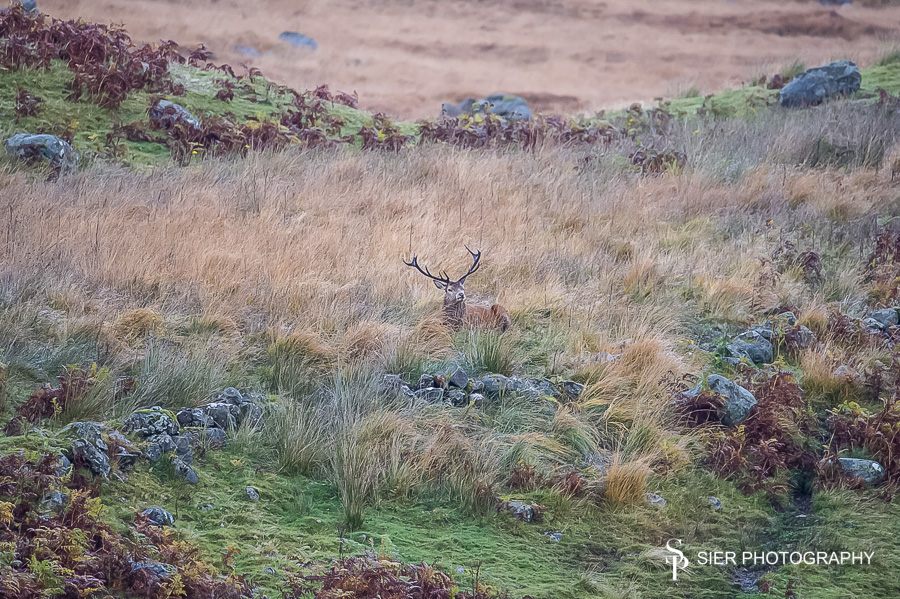 Red Deer in Dumfries and Galloway
