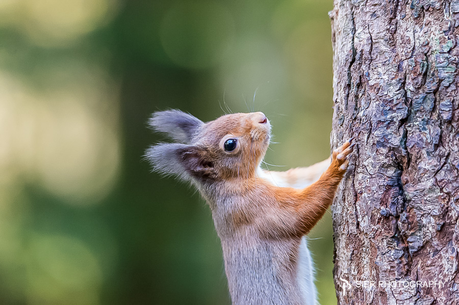 Stunning Red Squirrels in Southern Scotland