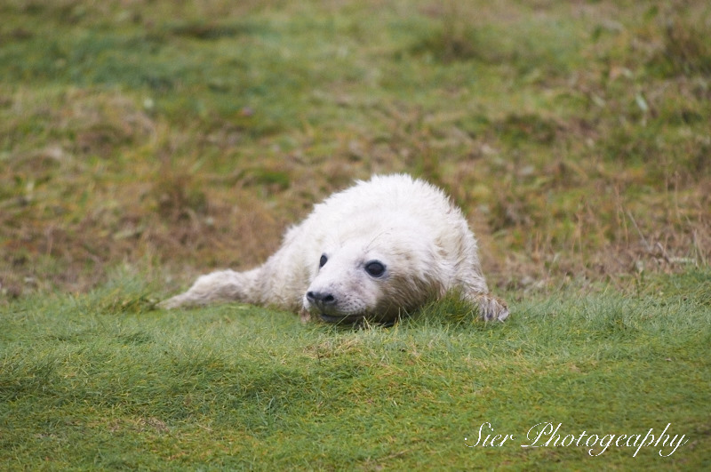 seals-donna-nook-sier-photography-sheffield_13