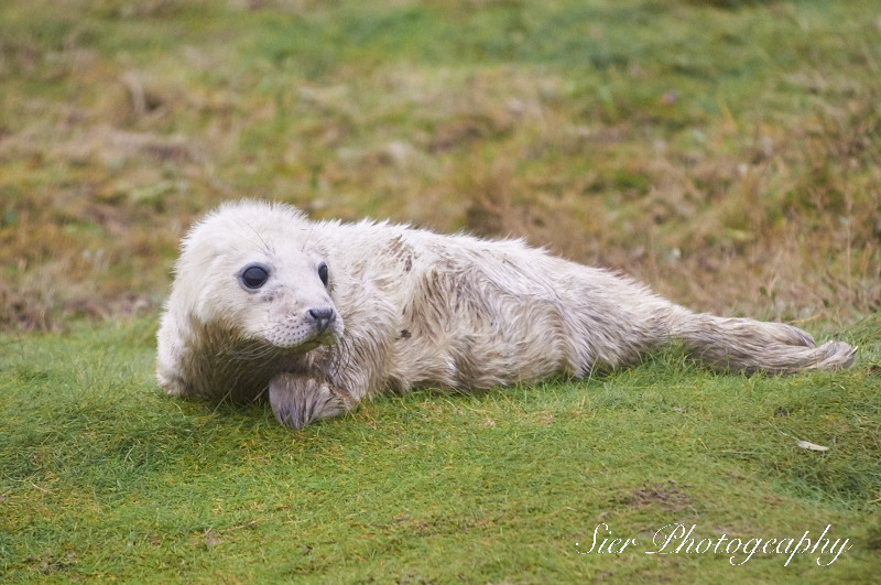 seals-donna-nook-sier-photography-sheffield_14