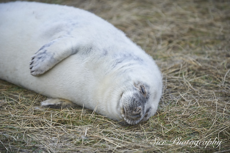 seals-donna-nook-sier-photography-sheffield_2