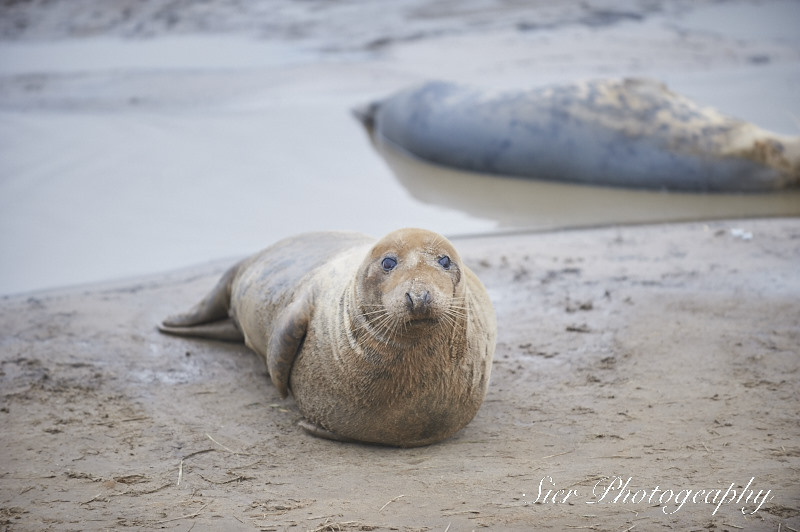 seals-donna-nook-sier-photography-sheffield_3