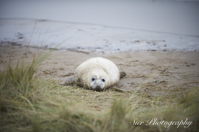 seals-donna-nook-sier-photography-sheffield_4