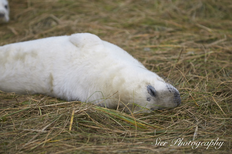 seals-donna-nook-sier-photography-sheffield_5