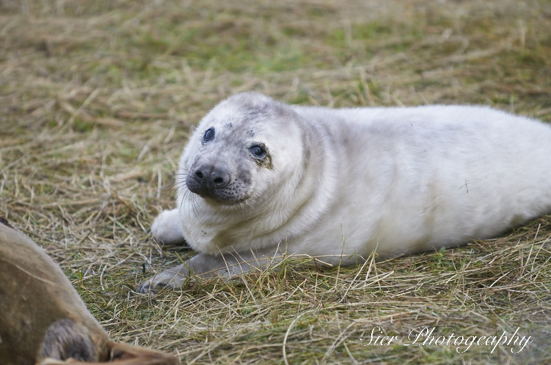 seals-donna-nook-sier-photography-sheffield_6