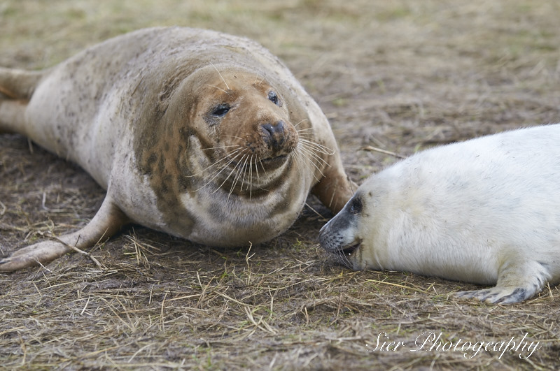 seals-donna-nook-sier-photography-sheffield_9