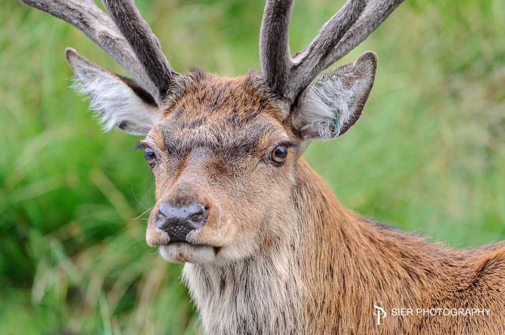 Red deer are the UK largest natural inhabitant and a sight to behold, I love photographing them