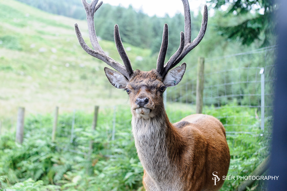 A very tame but potentially dangerous animal when they start waving those antlers about