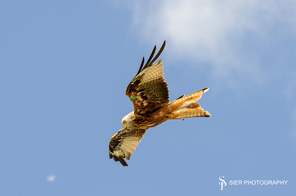 Red kites flying near Loch Ken in the Galloway Forrest Park