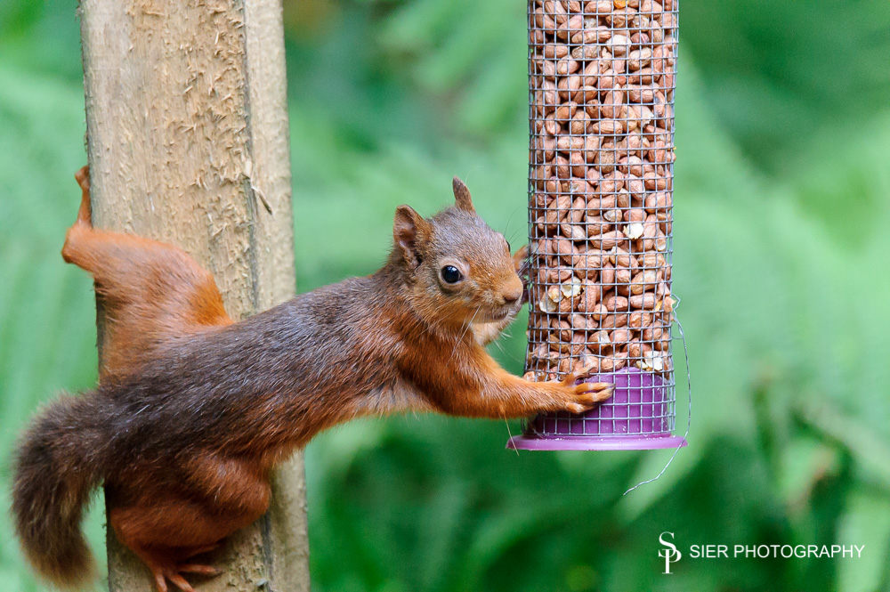 Red squirrels seem even more agile than their grey cousins