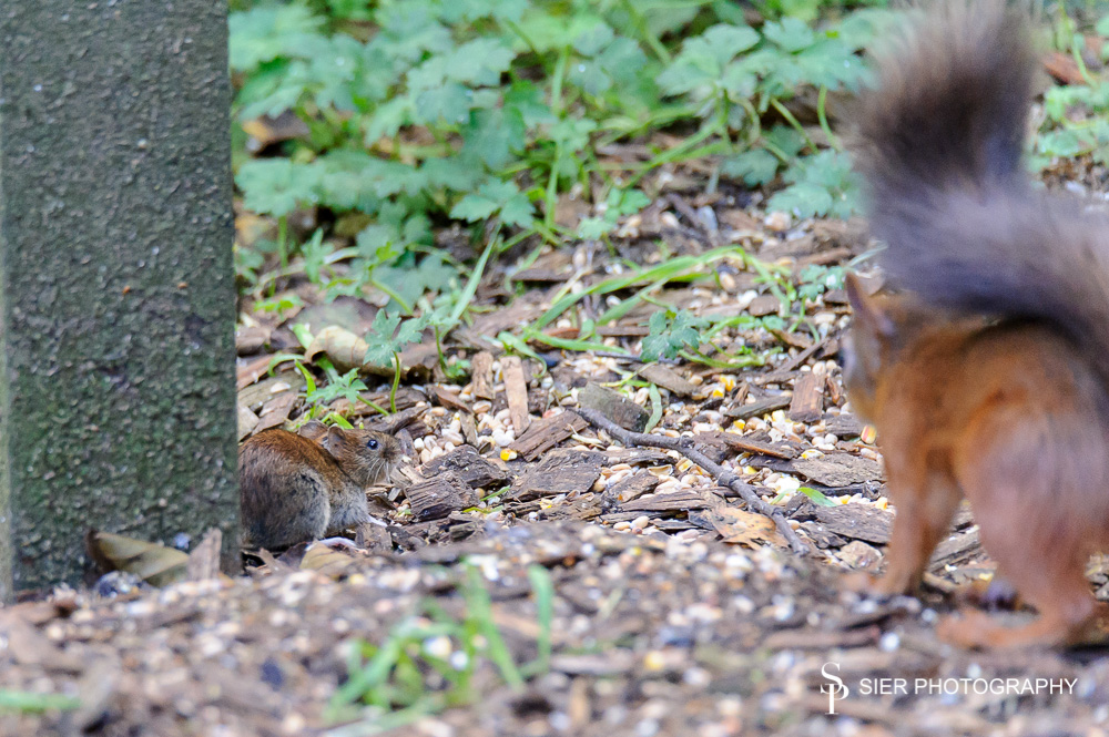 Red squirrel meets vole