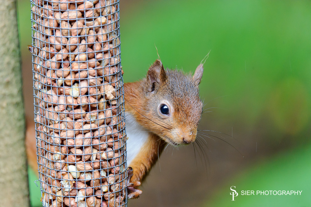 Wonderful little characters, red squirrels in the Galloway Forest Park