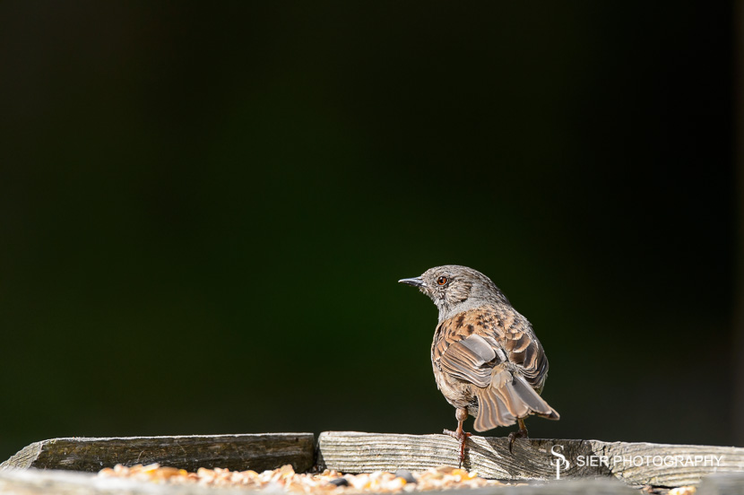 Dunnock perched on a bird table ready to feast on mealworms